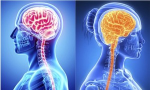 строение мозга у мужчин и женщин